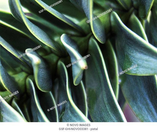 Echeveria Succulent Plant 5