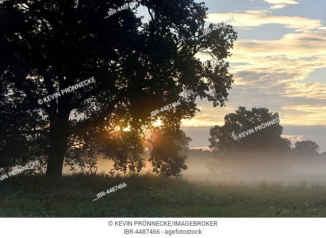 Solitary oak tree, English oak (Quercus robur), River Elbe Floodplains at sunrise, foggy atmosphere, Middle Elbe Biosphere Reserve, Saxony-Anhalt, Germany