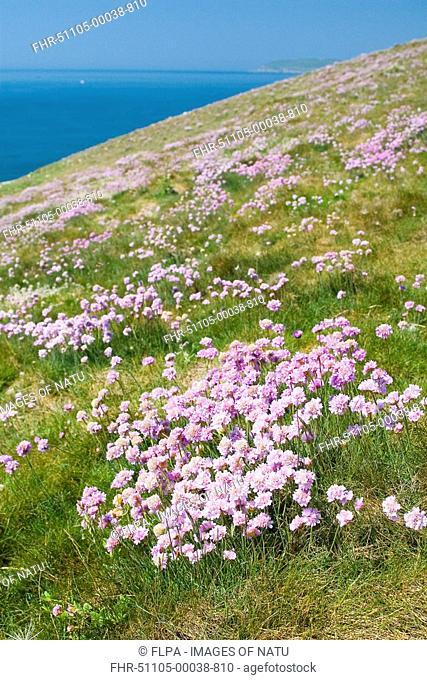 Thrift Armeria maritima flowering on clifftop habitat, Durlston, Dorset, England, spring