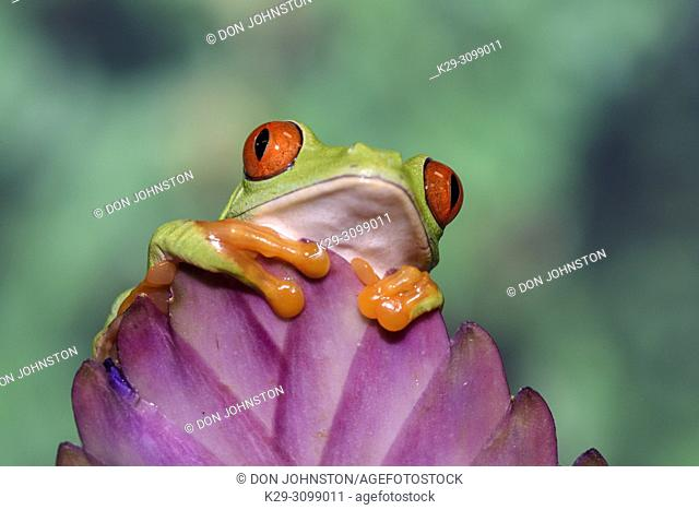 Red-eyed Tree Frog (Agalychnis callidryas) Captive. Native to neotropical rainforests, Reptilia reptile zoo, Vaughan, Ontario, Canada