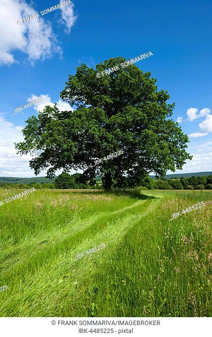 English oak (Quercus robur), solitary tree, Bavaria, Germany