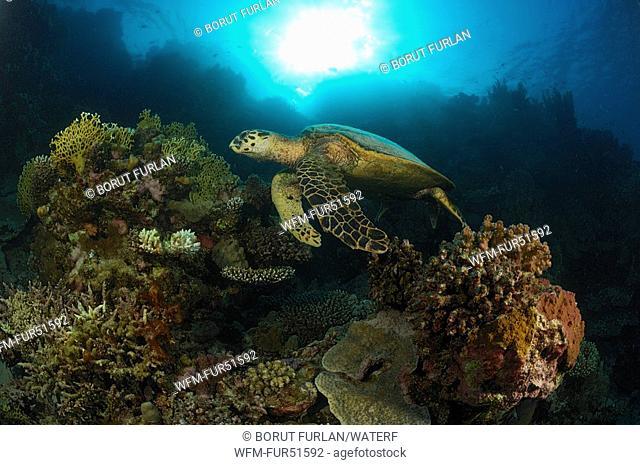 Hawksbill Turtle and Reef, Eretmochelys imbricata, Fury Shoals, Marsa Alam, Red Sea, Egypt