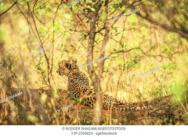 Female cheetah sits quietly on an earth mound under trees as she surveys her surroundings in search of prey. Limpopo Province, South Africa.