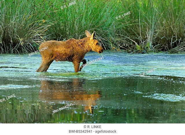 elk, European moose (Alces alces alces), elk calf walking through a pond, Germany