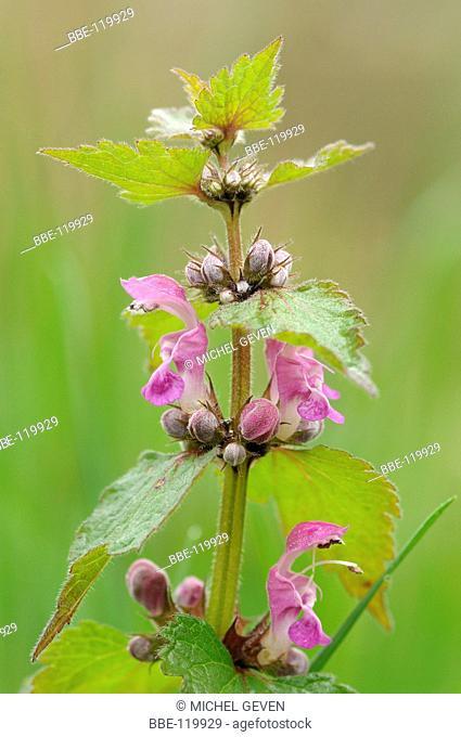 Flowering Spotted Deadnettle