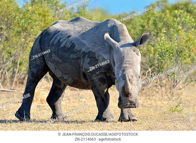 White rhinoceros (Ceratotherium simum), male, after a mud bath, Kruger National Park, South Africa, Africa