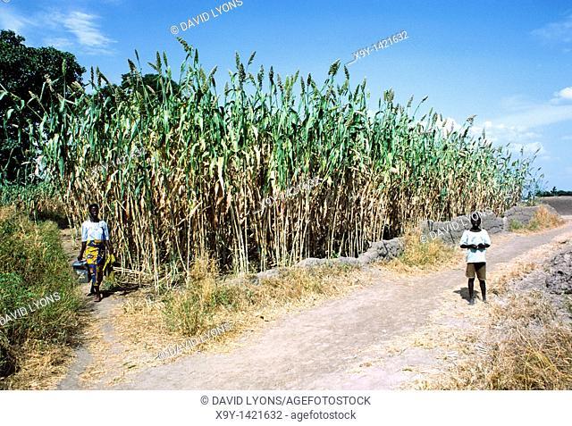 Guinea corn plants  Woman and boy tend field of ripe corn stalks in town of Lassa, Borno State, Nigeria, west Africa