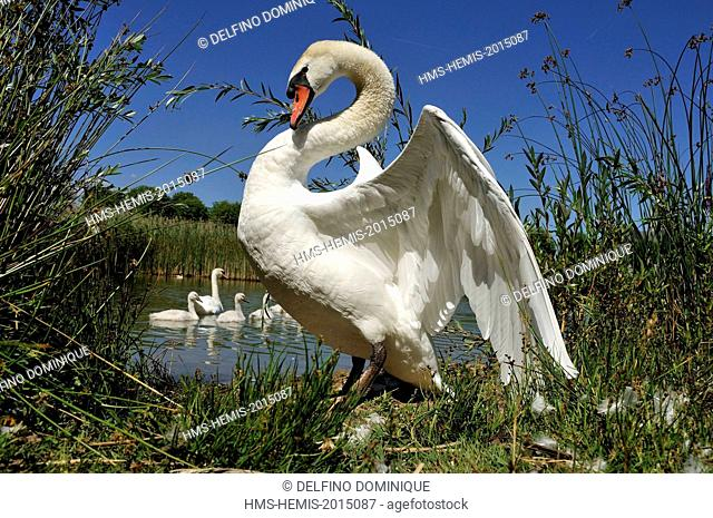France, Doubs, bird, Mute Swan (Cygnus olor), male intimidation in position to defend her brood