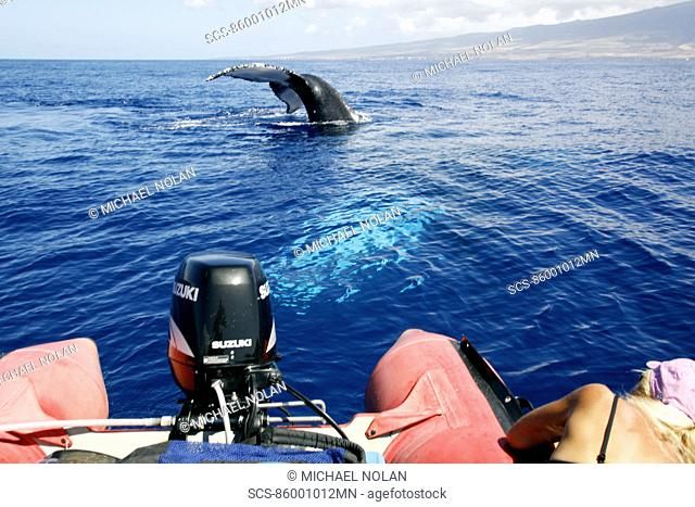 Adult humpback whale Megaptera novaeangliae head-standing near boat in the AuAu Channel, Maui, Hawaii Pacific Ocean Model and property released