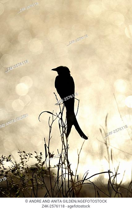 Black Drongo (Dicrurus macrocercus) perched on a blade of high grass, Ranthambhore national park, Rajasthan, India