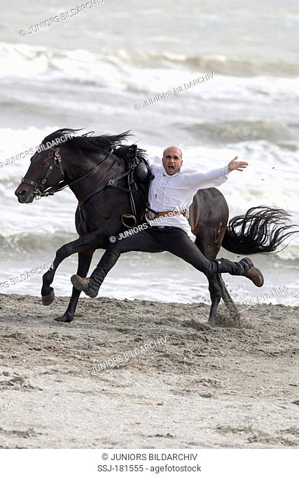 Pure Spanish Horse, Andalusian. Stunt-Man performing a stunt on a beach. Romania