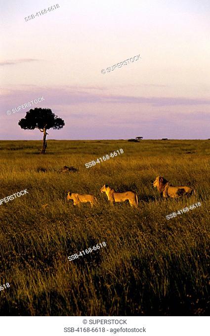 kenya, masai mara, pride of lions walking through grass, evening sunshine, hunting