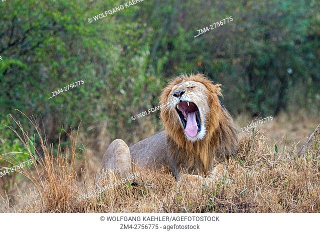 A yawning male lion (Panthera leo) during a rainstorm in the Masai Mara National Reserve in Kenya