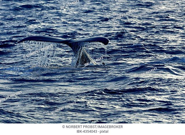 Humpback whale (Megaptera novaeangliae), Fluke, Silver Bank, Silver and Navidad Bank Sanctuary, Atlantic Ocean, Dominican Republic