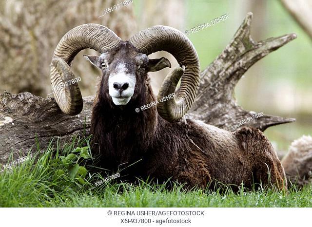 Mouflon sheep (Ovis musimon), ram resting at base of tree