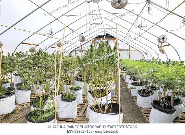 Marijuana plants at a legal cannabis grow facility in Oregon