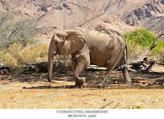 Rare Namibian Desert Elephant (Loxodonta africana), cow, Hoanib River, Kaokoland, Kaokoveld, Namib Desert, Kunene Province, Namibia