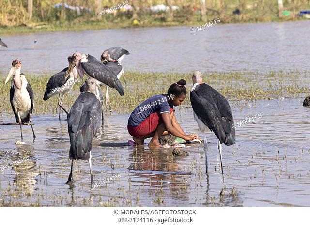 Africa, Ethiopia, Rift Valley, Ziway lake, Marabou stork (Leptoptilos crumenifer) around fishermen boats, they are waiting for the remains of fish thrown by the...