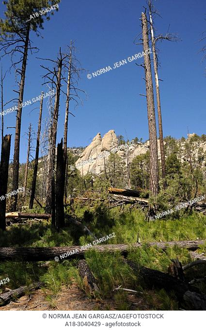 New growth of pines, ferns and other plants emerges from the forest floor following the Aspen Fire, Arizona Trail, Wilderness of Rocks Trail, Trail