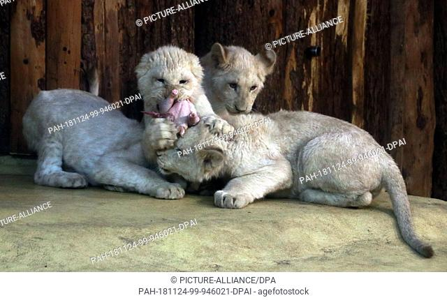 24 November 2018, Saxony-Anhalt, Magdeburg: The four little white lions from Magdeburg Zoo are fighting over a piece of meat