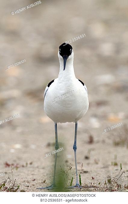 Avocet, Recurvirostra avosetta, France