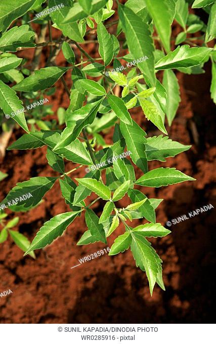 Ayurvedic medicinal plant , Scientific name vitex negundo , English name five leaved chaste tree
