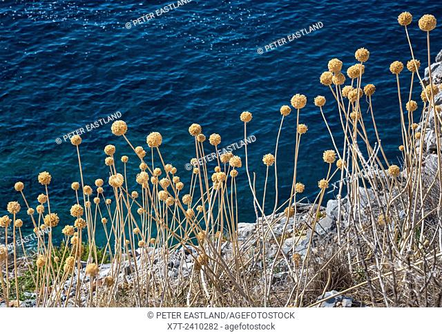Dead seed heads of Allium, garlic, which have grown wild on a cliff by the sea in the Mani, Peloponnese, Greece