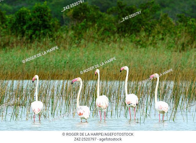 Greater Flamingo (Phoenicopterus roseus). Kosi Bay. KwaZulu Natal. South Africa