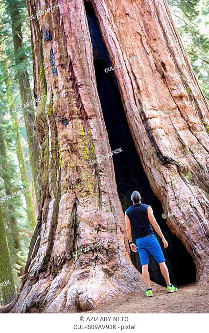 Rear view of mature man looking up at giant redwood tree, Yosemite national park, California, USA