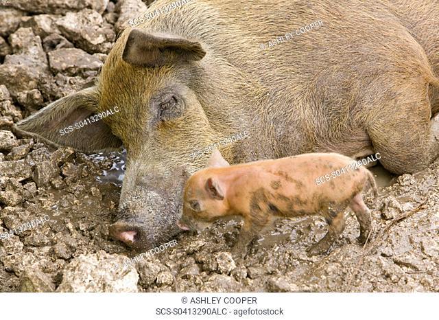 pigs reared for pork on Funafuti atol Tuvalu