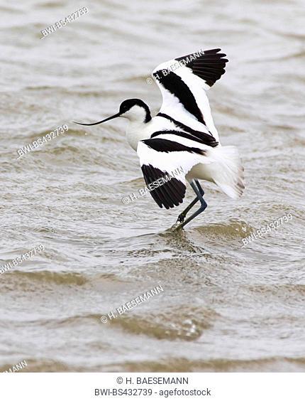 pied avocet (Recurvirostra avosetta), lands in water, Germany, Schleswig-Holstein, Northern Frisia, Hallig Hooge