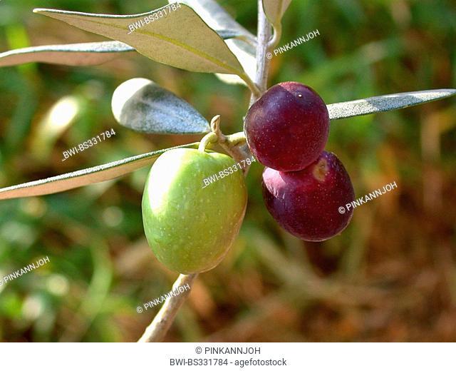 olive tree (Olea europaea ssp. sativa), branch with olives