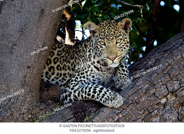 Leopard (Panthera pardus) - Male, on the tree , Chobe National Park, Botswana