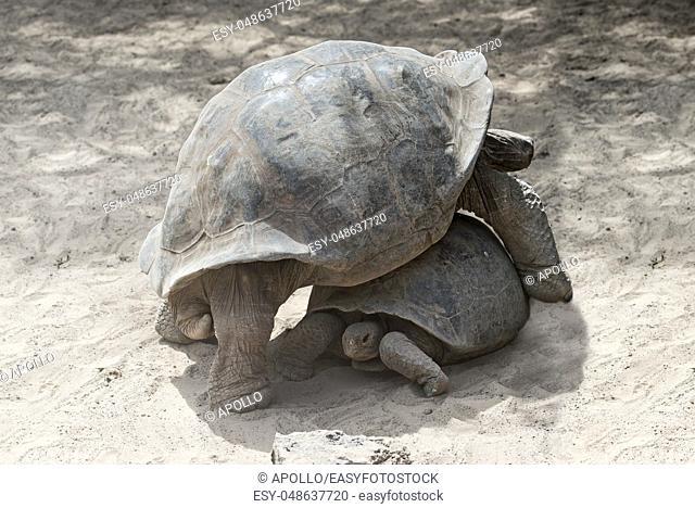 Galápagos giant tortoises (Chelonoidis nigra ssp), Tortoise breeding center of Isabela Island, Galapagos Islands, Ecuador