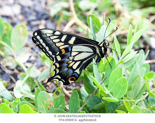 Anise swallowtail butterfly (Papilio zelicaon) Ucluelet, British Columbia, Canada
