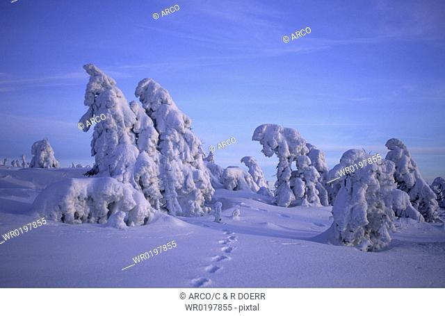 Snow-covered, Norway, Spruce, national, park, Hochharz, Brocken, Saxony-Anhalt, Germany, Picea, abies