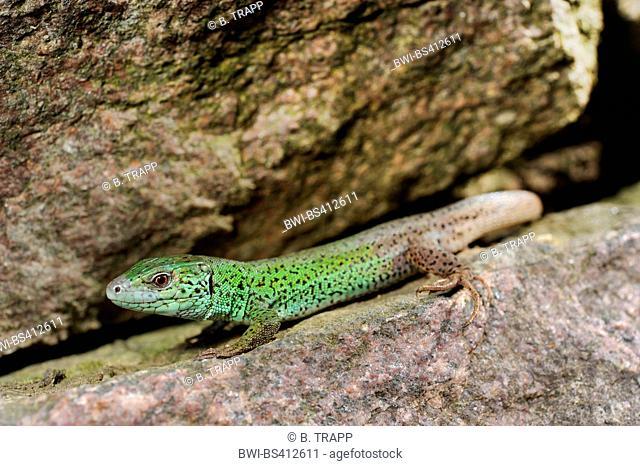 Caspian green lizard, Caucasus emerald lizard (Lacerta strigata), male sits on rock, Azerbaijan