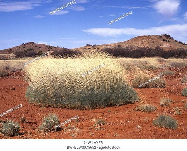 spinifex Spinifex spec., desert landscape in central Australia with Spinifex grass, Australia