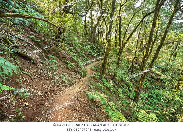 Rain forest in Garajonay national park , La Gomera, Canary islands, Spain