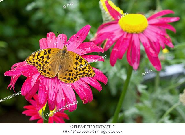 Silver-washed Fritillary (Argynnis paphia) adult, feeding on Painted Daisy (Tanacetum coccineum) flowers in garden, England, June