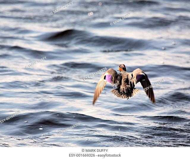 Blue-winged Teal in flight over Saskatchewan pond