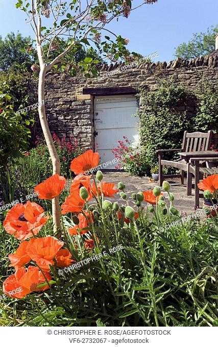 UK. Red poppy flowers