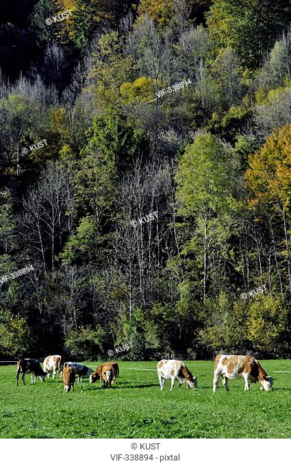 Kuehe stehen auf der Weide - 22/10/2005