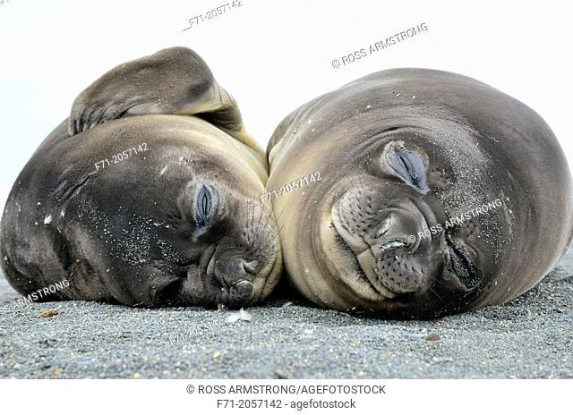 Two juvenile southern elephant seals (Mirounga leonina). Gold Harobour, South Georgia Island