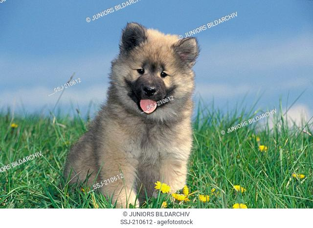 Eurasier, Eurasian. Puppy sitting on a meadow. Germany