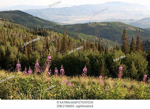Purple Wildflowers and evergreen trees of the Wasatch Mountains as viewed from Guardsman Pass, Park City, Utah, USA