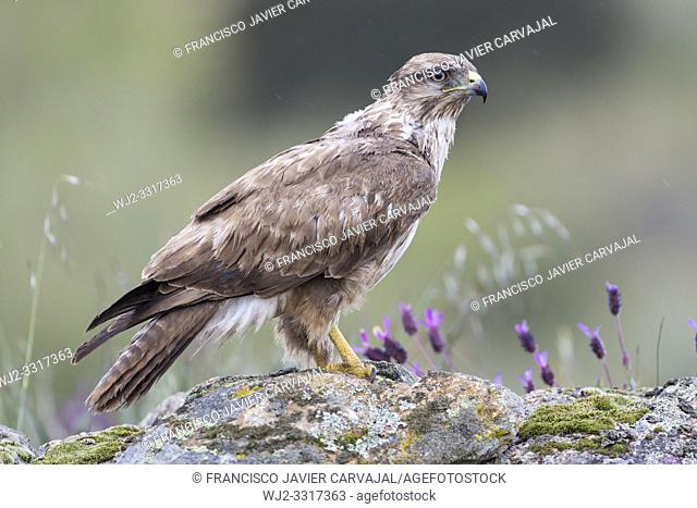 Common buzzard (Buteo buteo) on a rock surrounded by spring flowers, in Extremadura, Spain