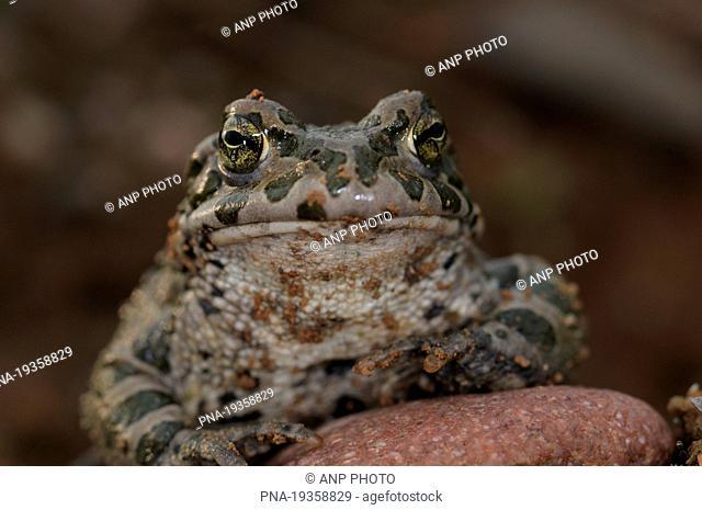 Green toad Bufo viridis - KÃœln, Cologne, Rhineland, Rheinland, North Rhine-Westphalia, Nordrhein-Westfalen, Germany, Europe