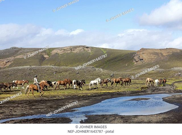 Woman horseback riding, herd of Icelandic horses in background