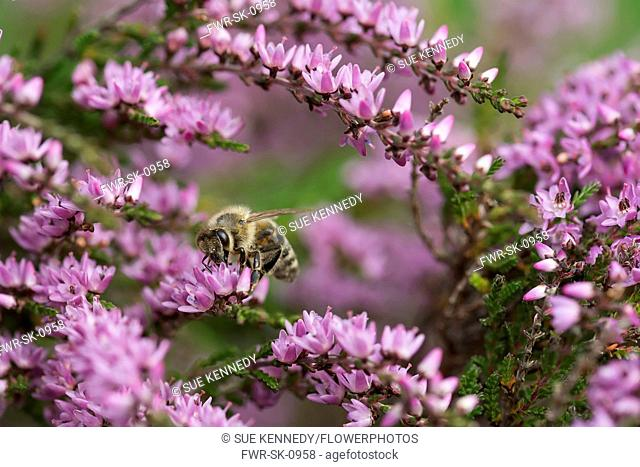 Heather, Calluna vulgaris, close up of Honey bee, Apis mellifera pollinating the flowers on moorland Co Durham